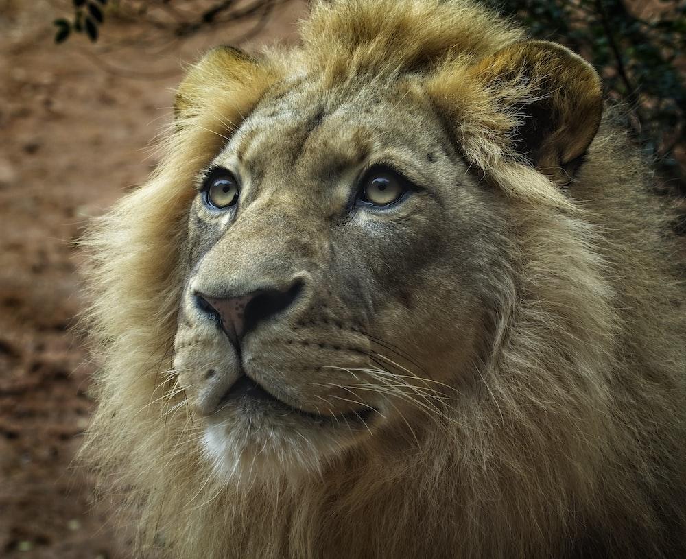 brown lion cun