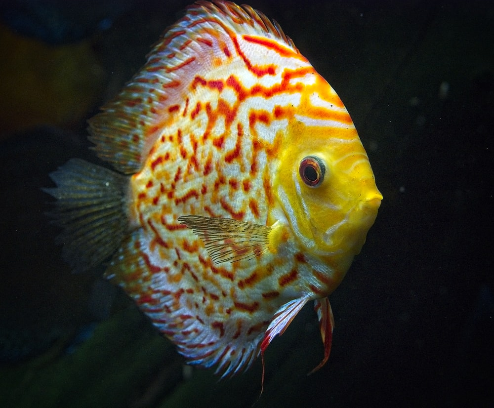 yellow and white angel fish with black background