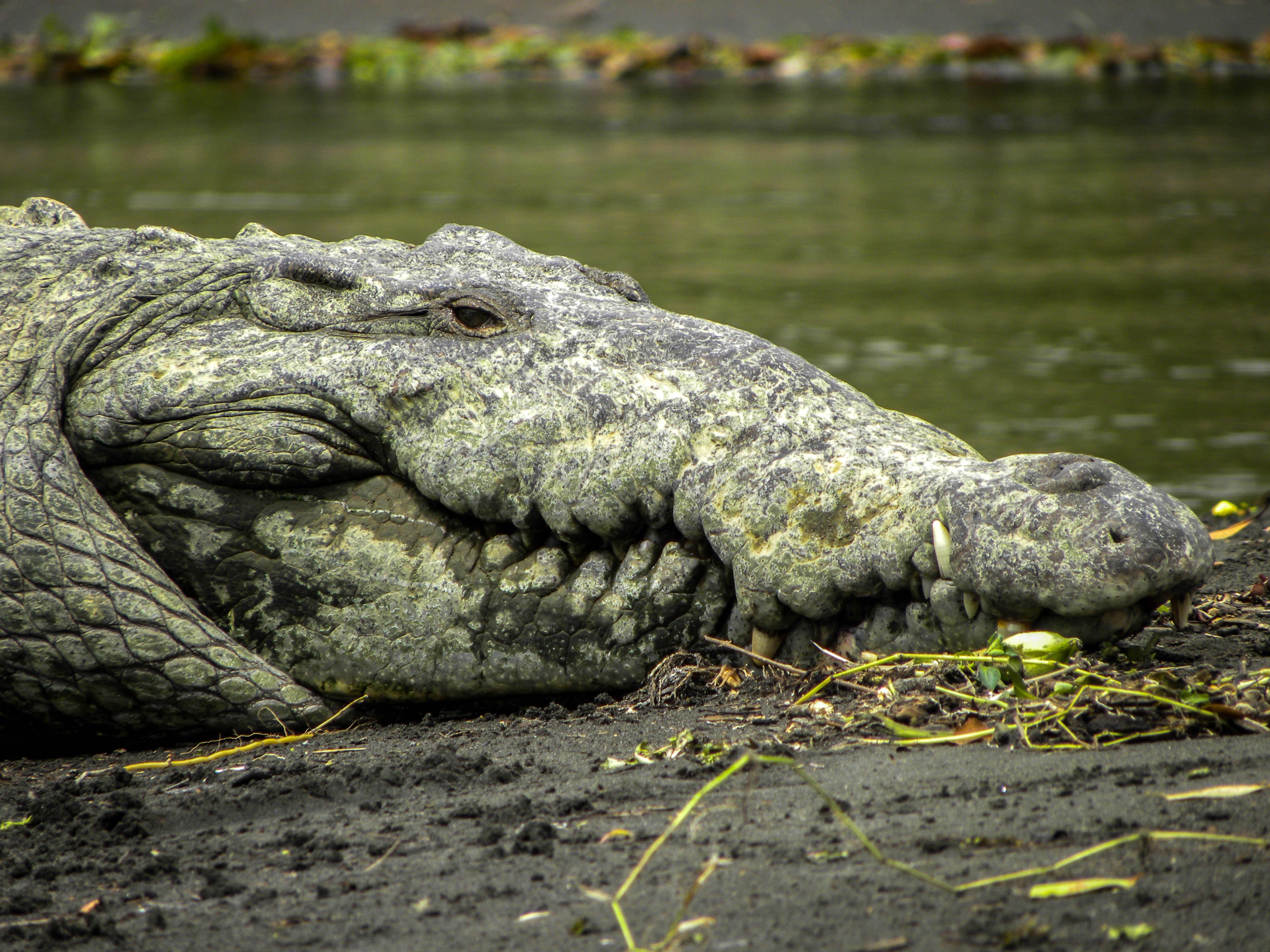 brown alligator near body of water