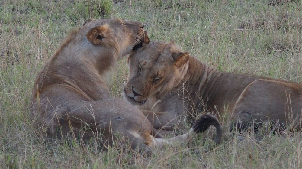 two lionesses on field