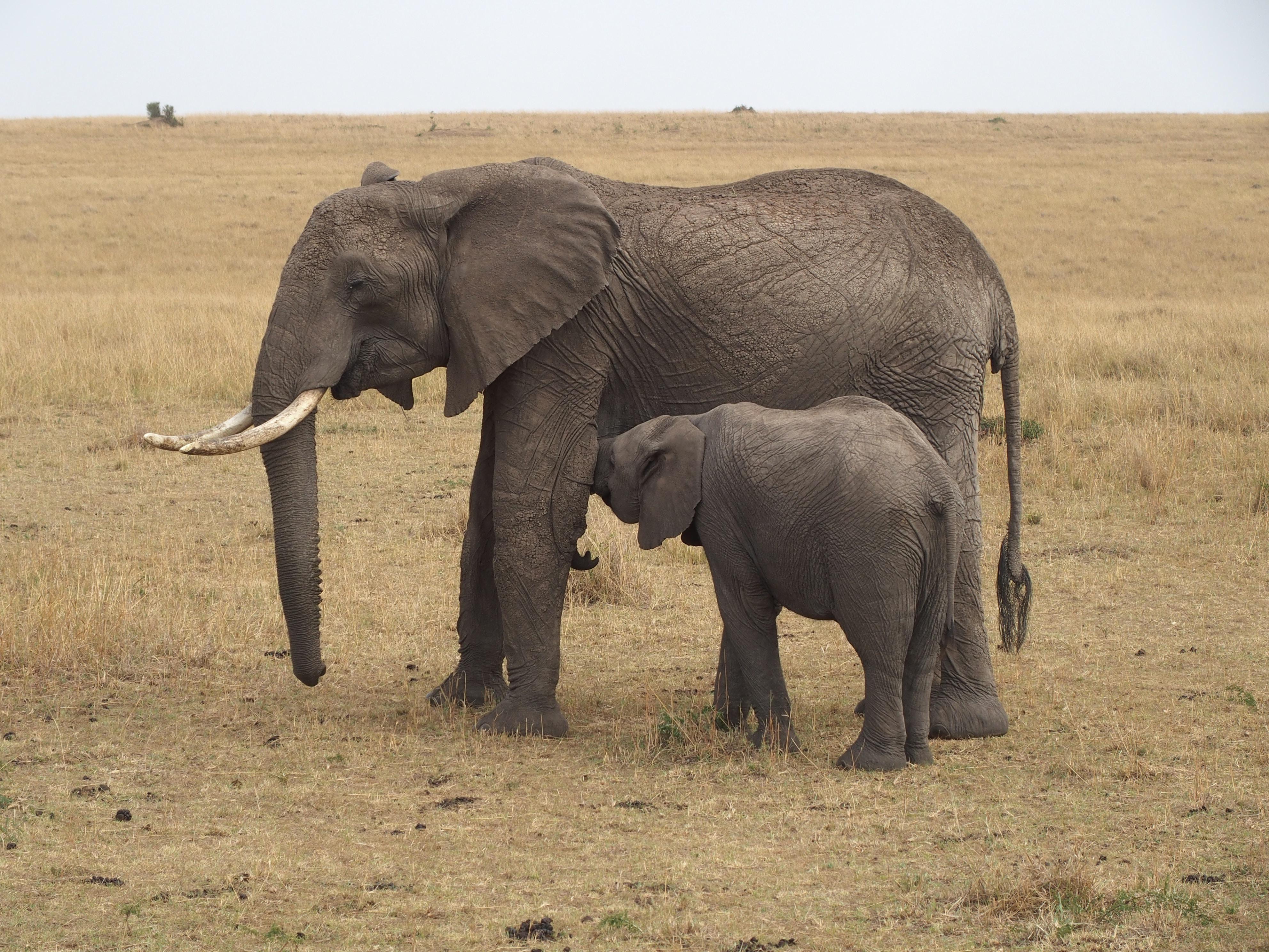 family of two elephants at safari