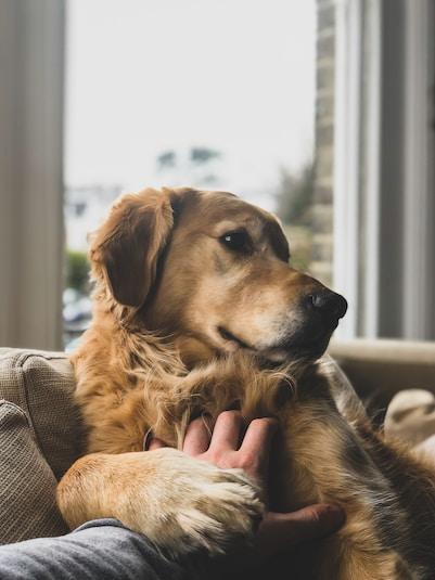 brown dog on sofa