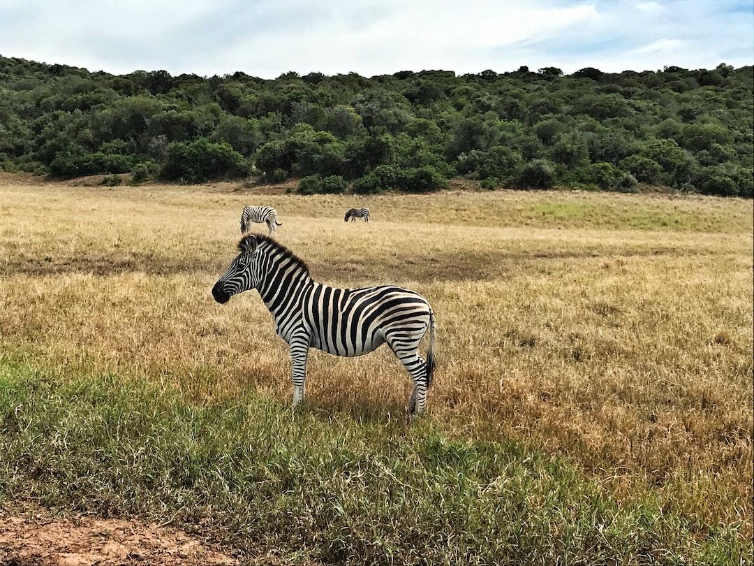 South Africa, Zebra