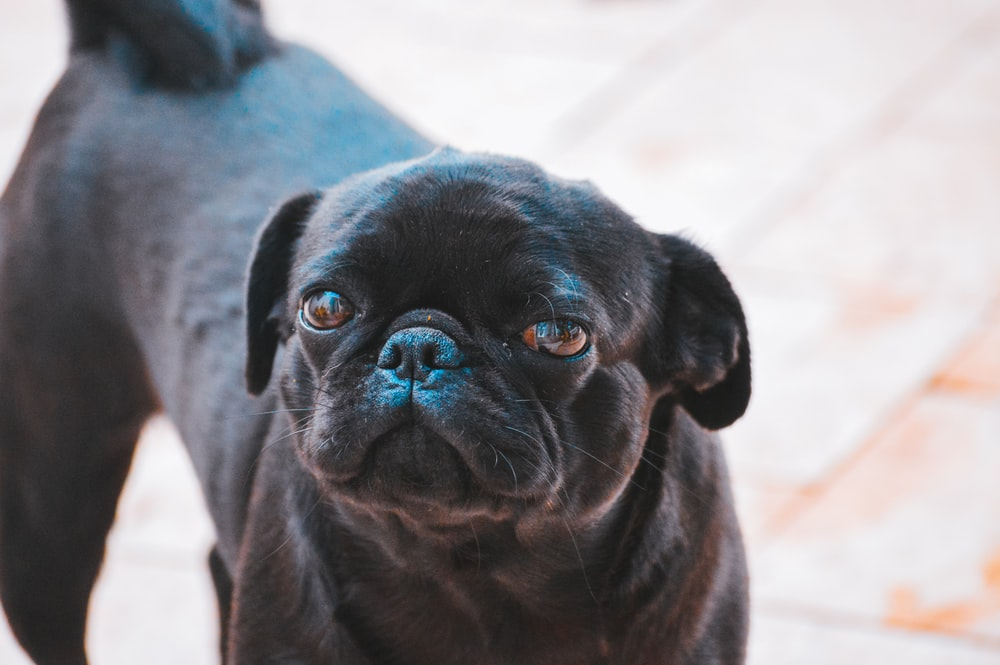 adult black petite brabancon dog