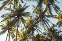 palm coconut trees