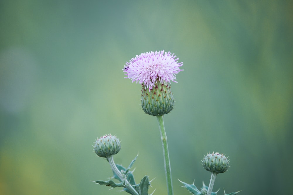 selective focus photo of Thistle flower