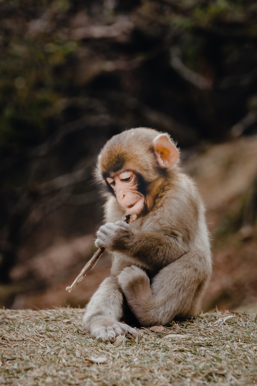 gray monkey playing instrument at daytime