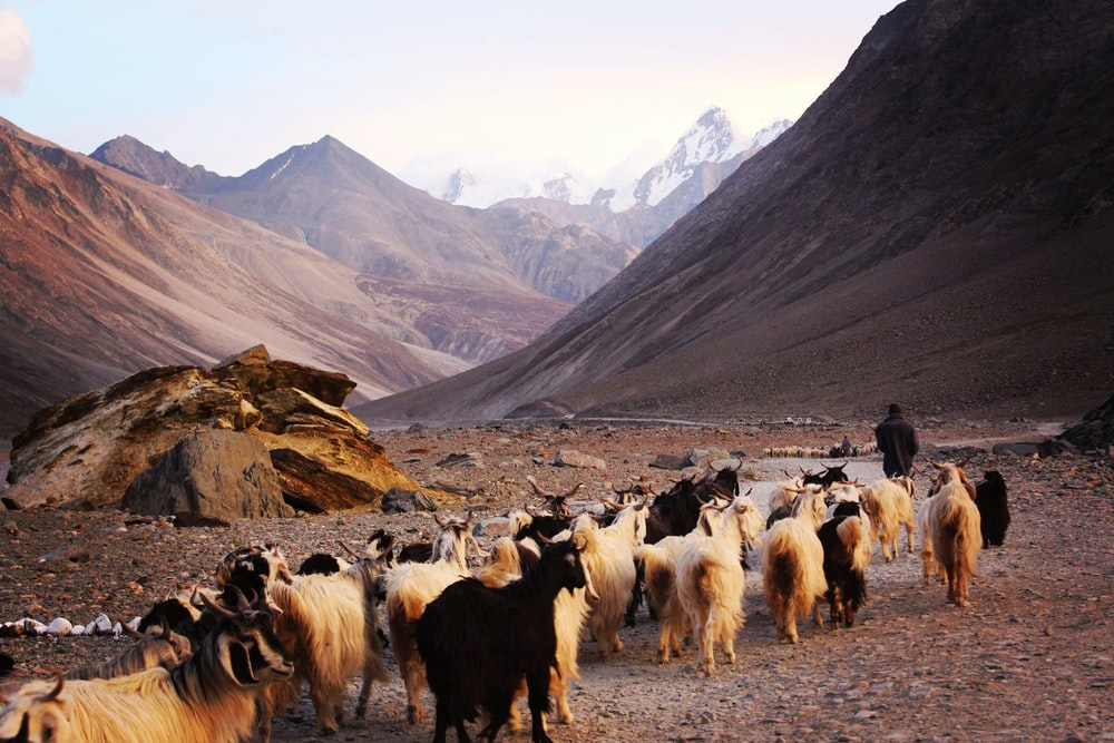 man behind with herd of sheep front on mountain at daytime