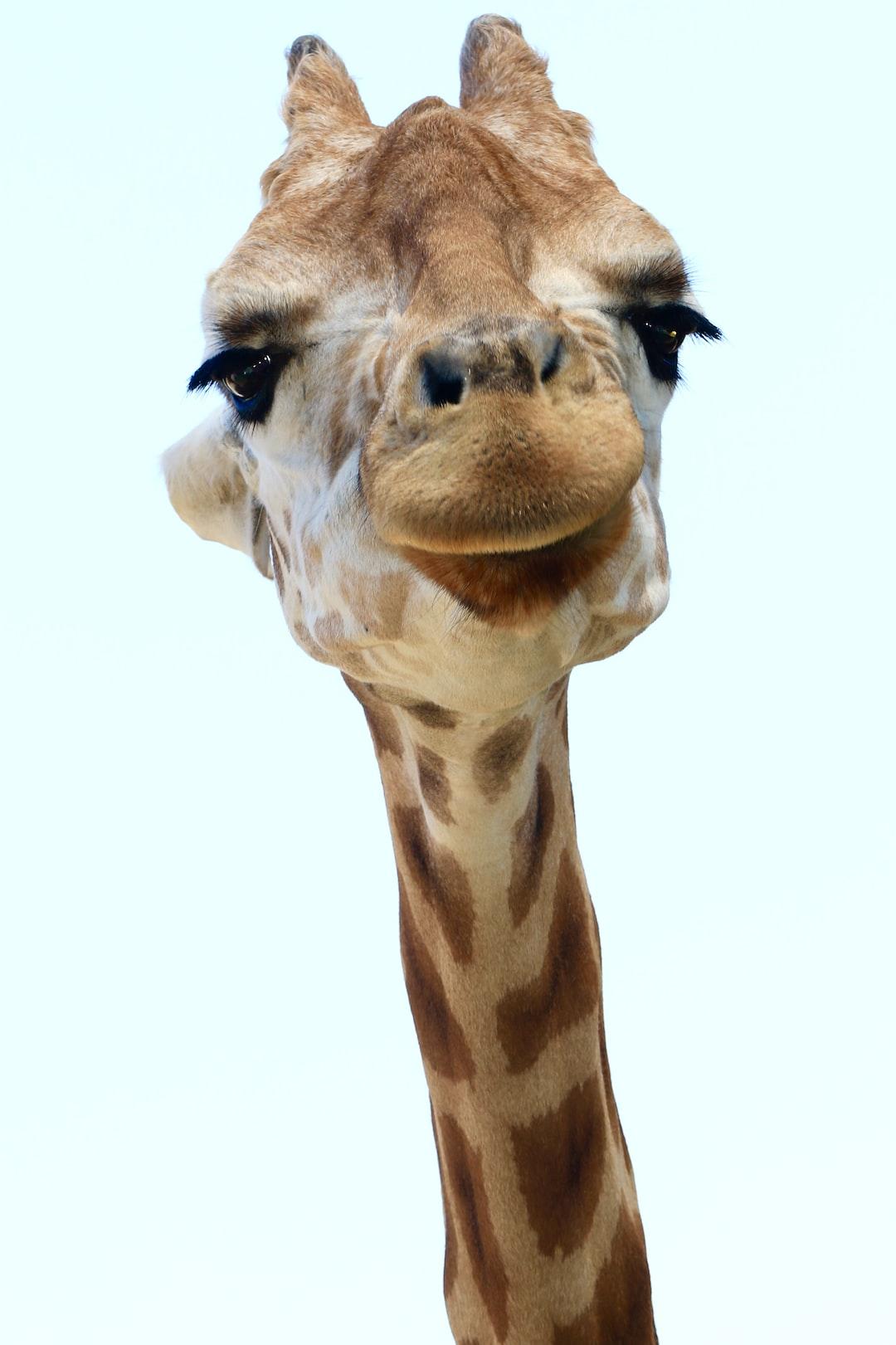 Giraffe portait