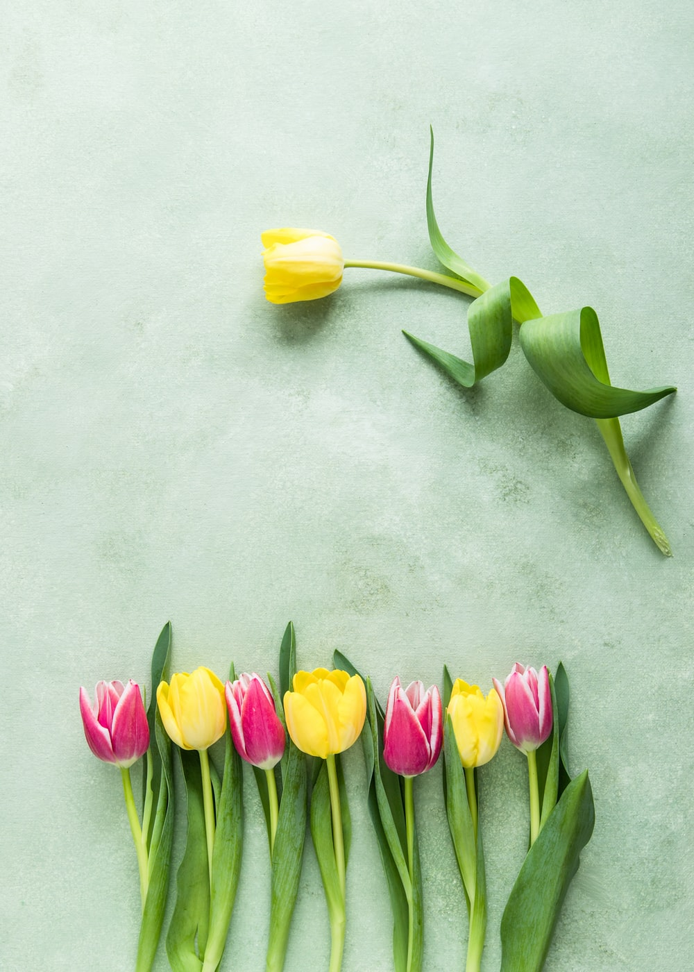 pink and yellow tulip flowers on teal surface