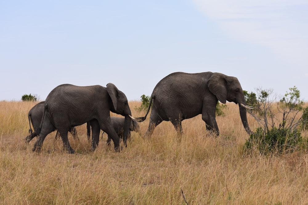 family of elephant on safari