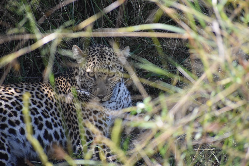 black and white leopard lying on grass