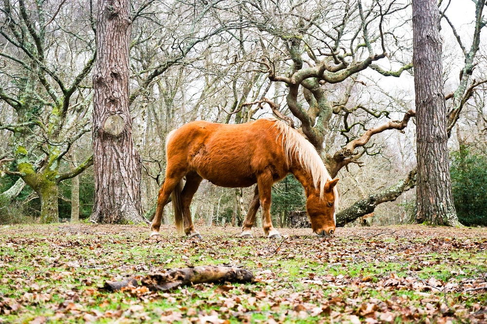 brown horse eating on ground near trees