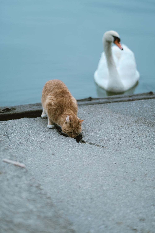 orange tabby cat near the white swan during daytime