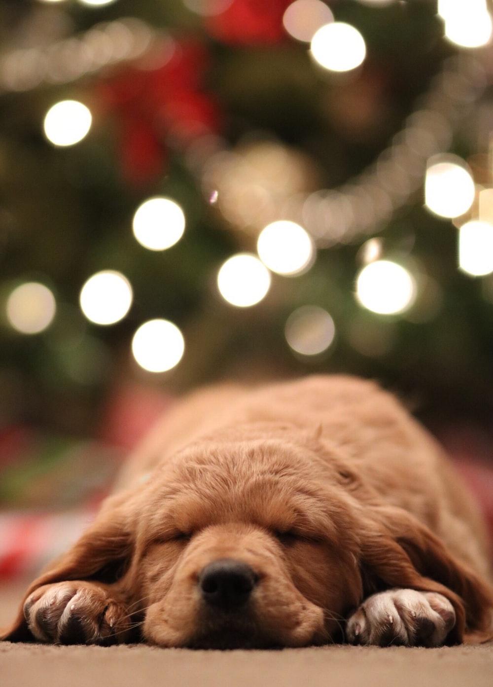 golden retriever puppy bokeh photography