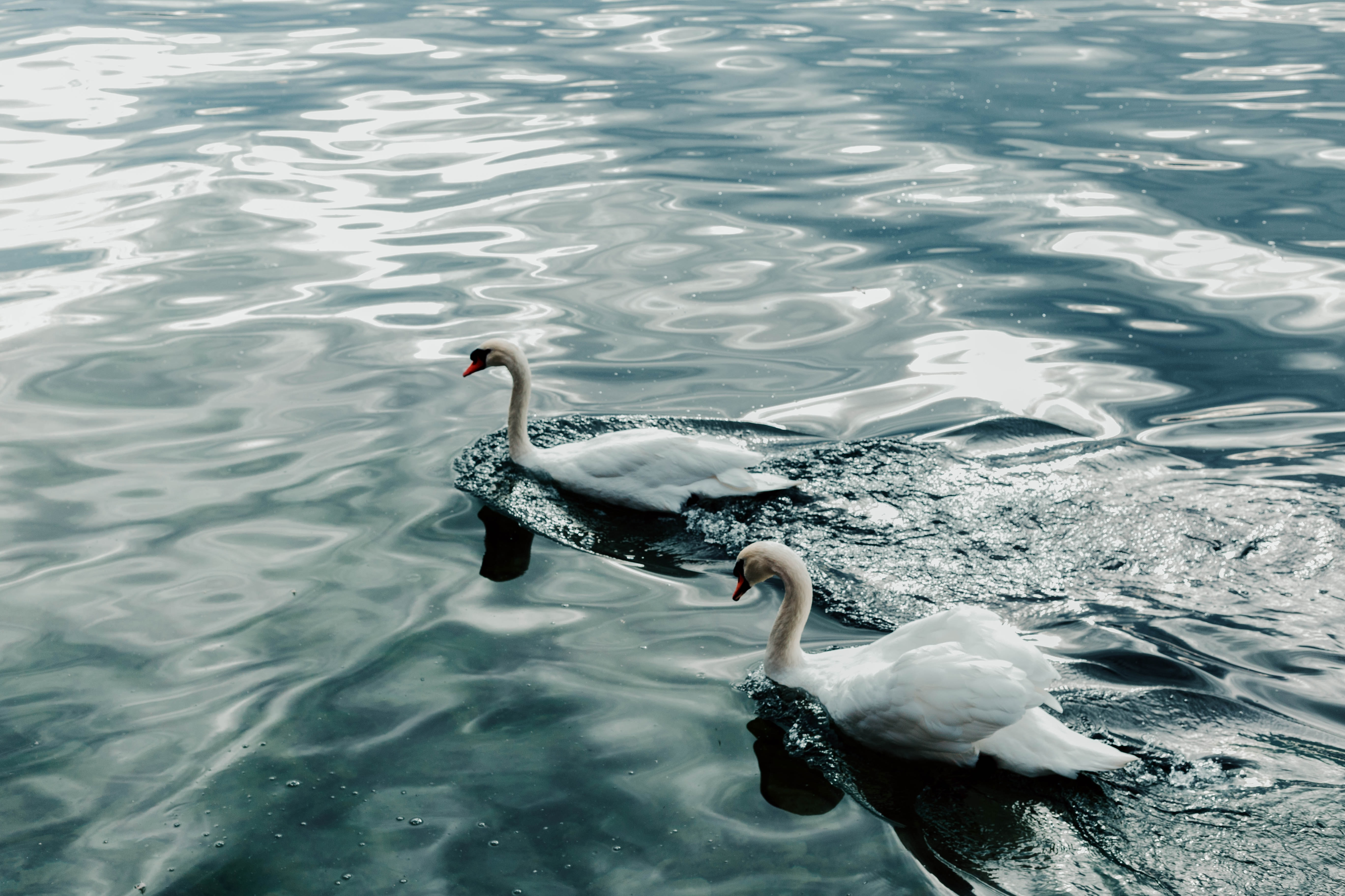 two white ducks at water during daytime