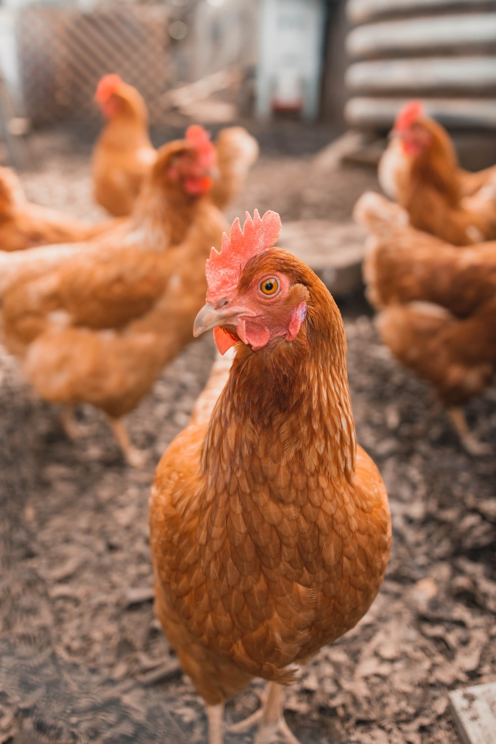 selective focus photography of brown hen