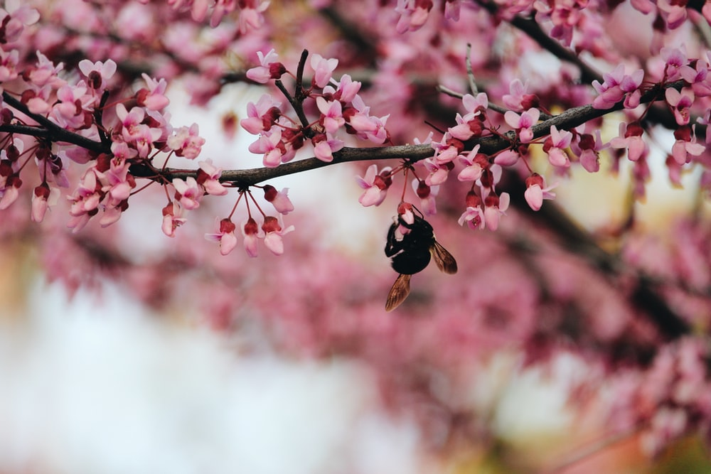 selective focus photography of black and brown bee on pink trees