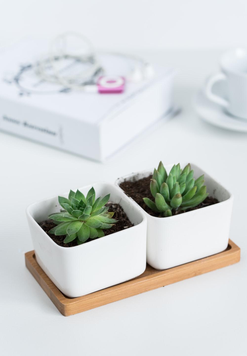 two succulent plants