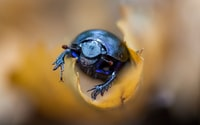 close up photography of blue beetle