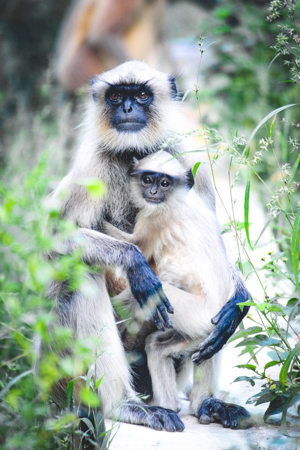 selective focus photography of two gray langur monkeys