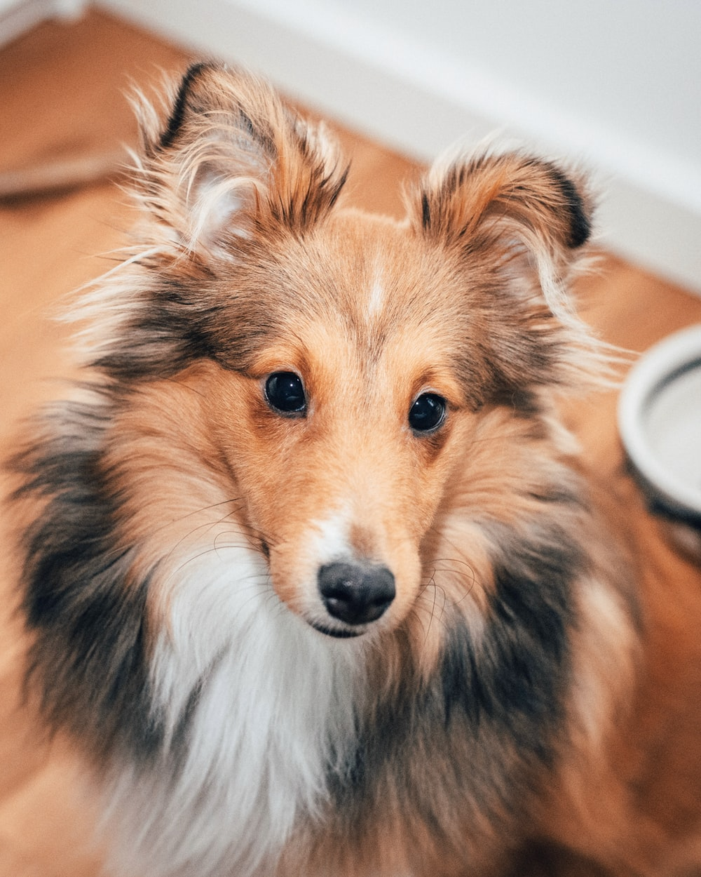close up photography black and tan Rough collie dog