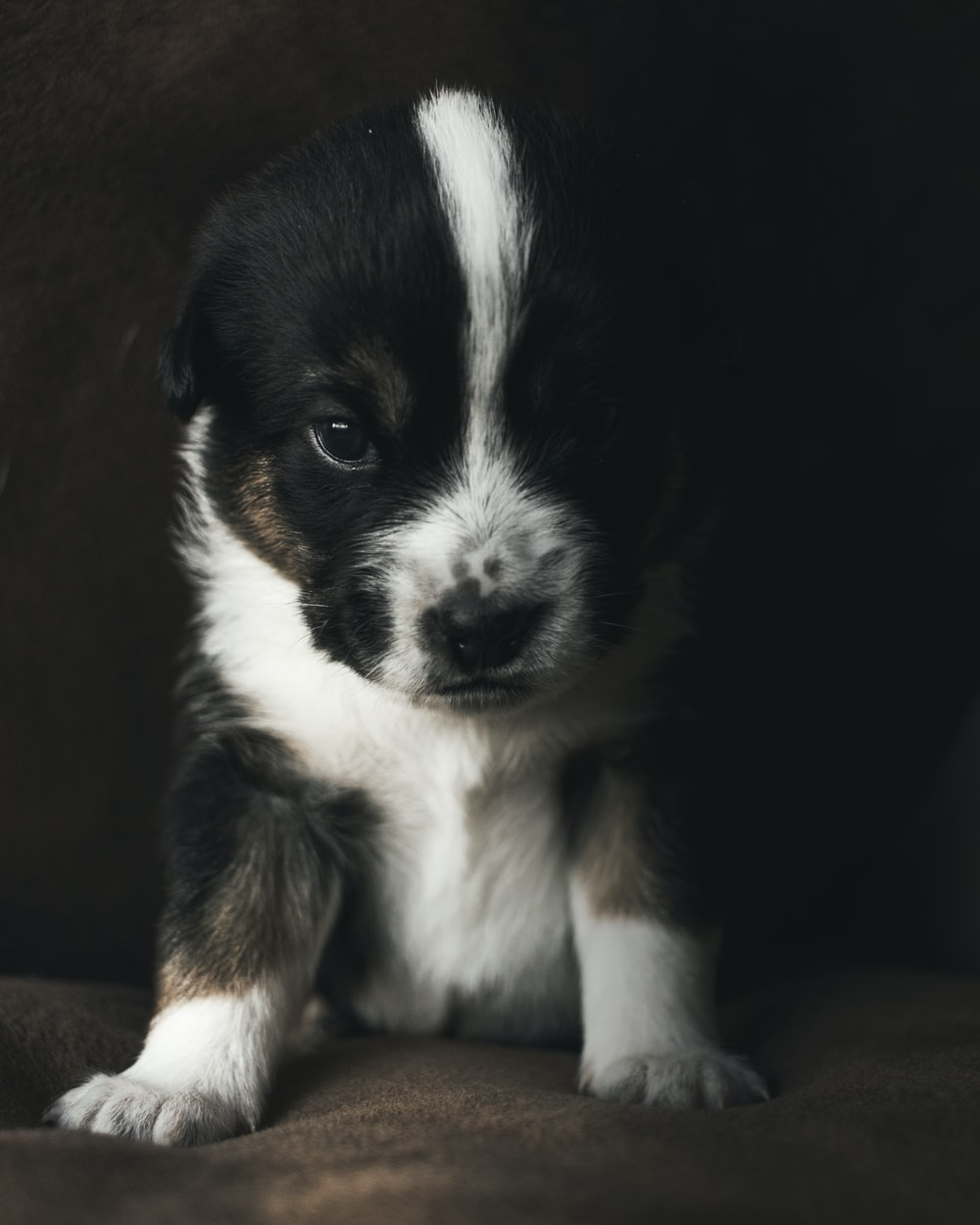 front view of black and white puppy sitting on brown sofa
