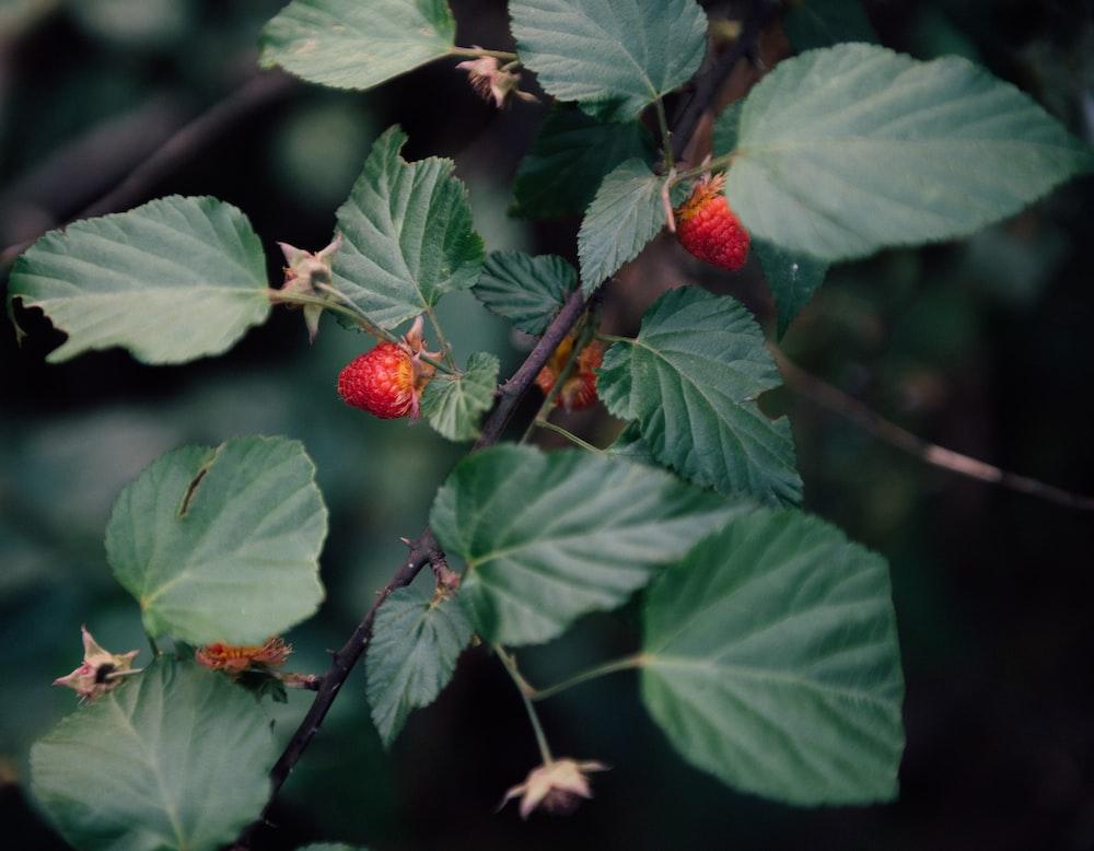 strawberries in tree