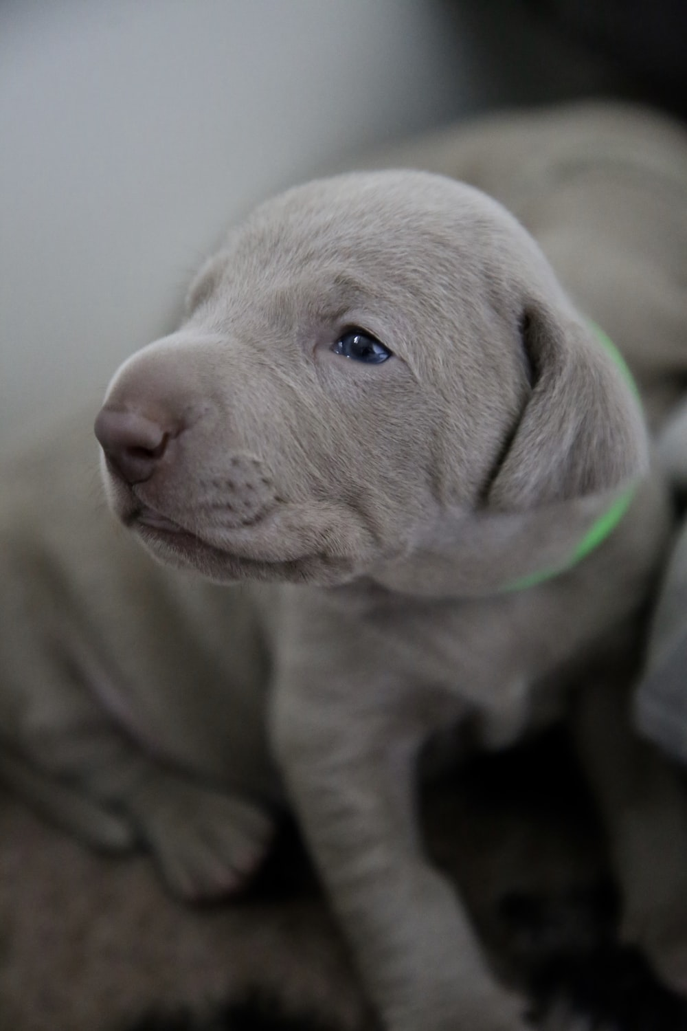 close-up photography of short-coated silver puppy