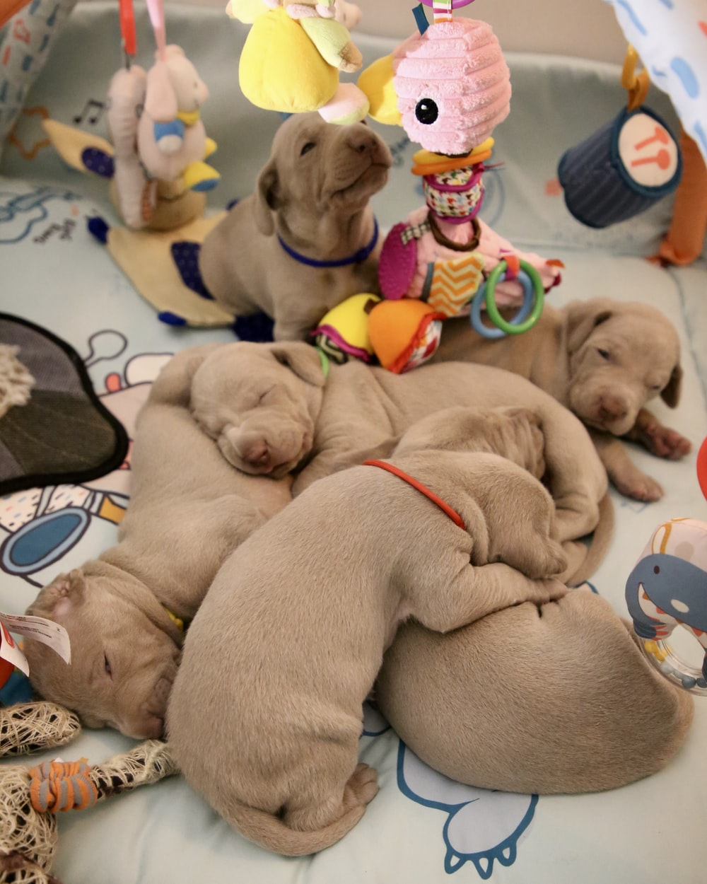 short-coated gray puppies with baby mobile