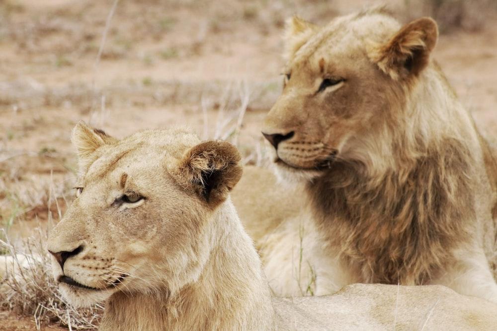 two beige lioness