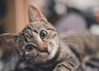 shallow focus photography of brown tabby cat