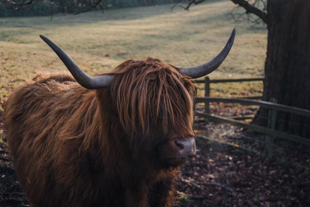 brown yak