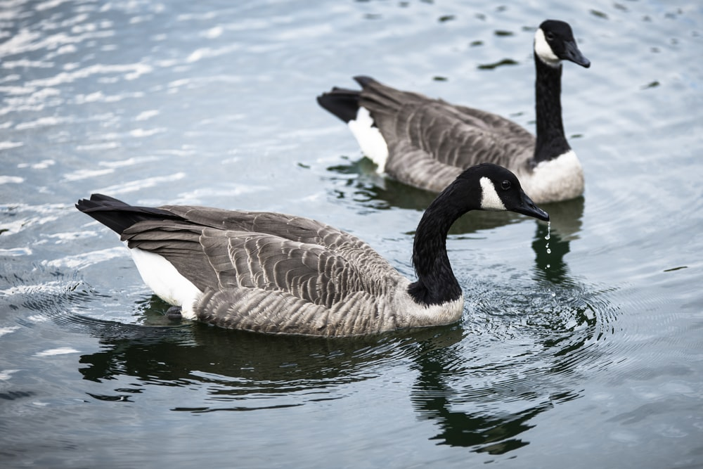 two black-and-white swans on body of water