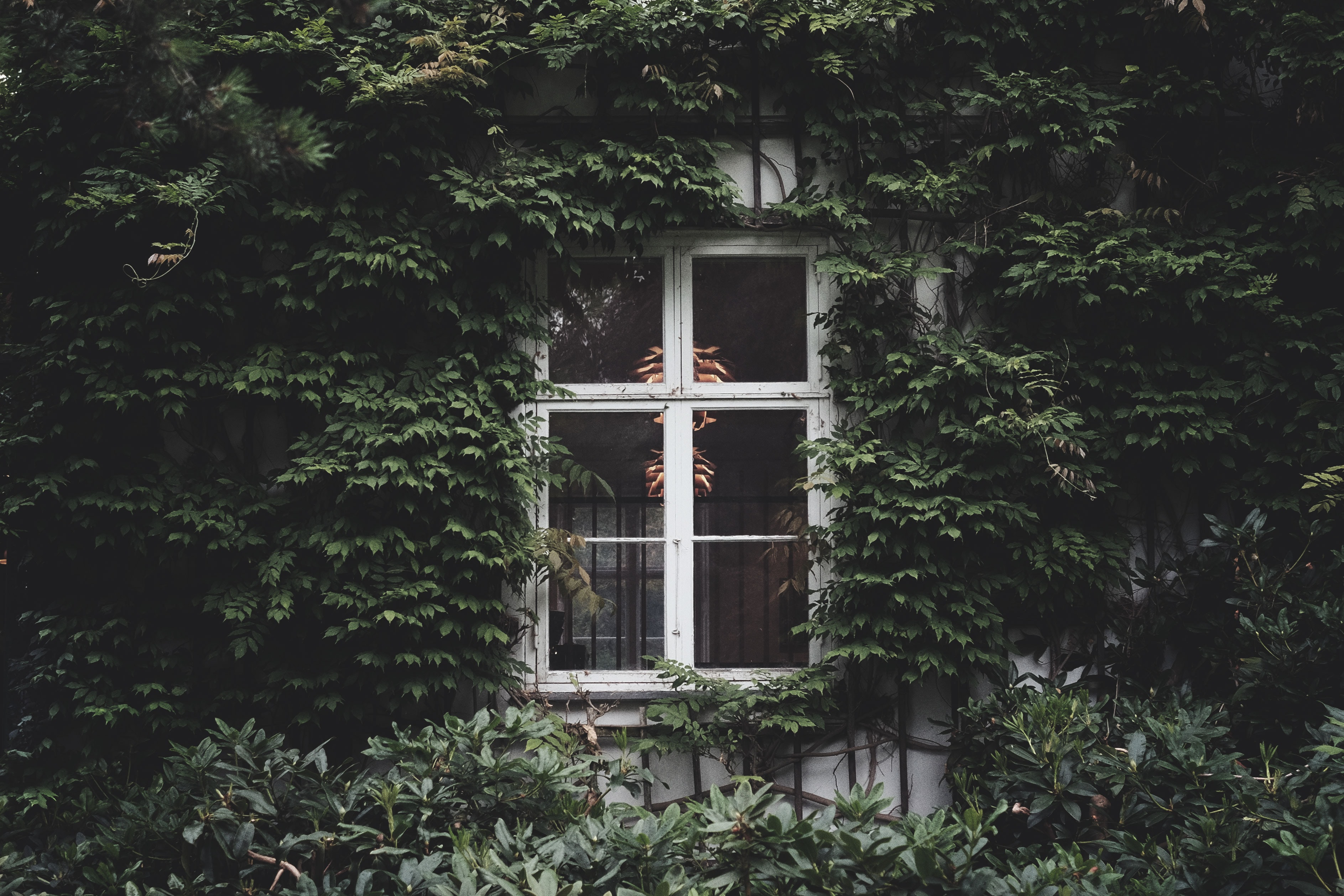closed white window surrounded with green vine plants