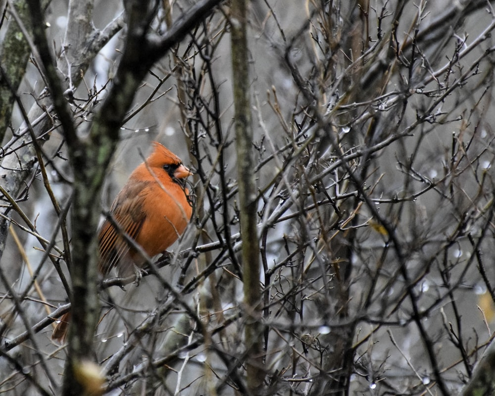 red cardinal bird perched on twigs