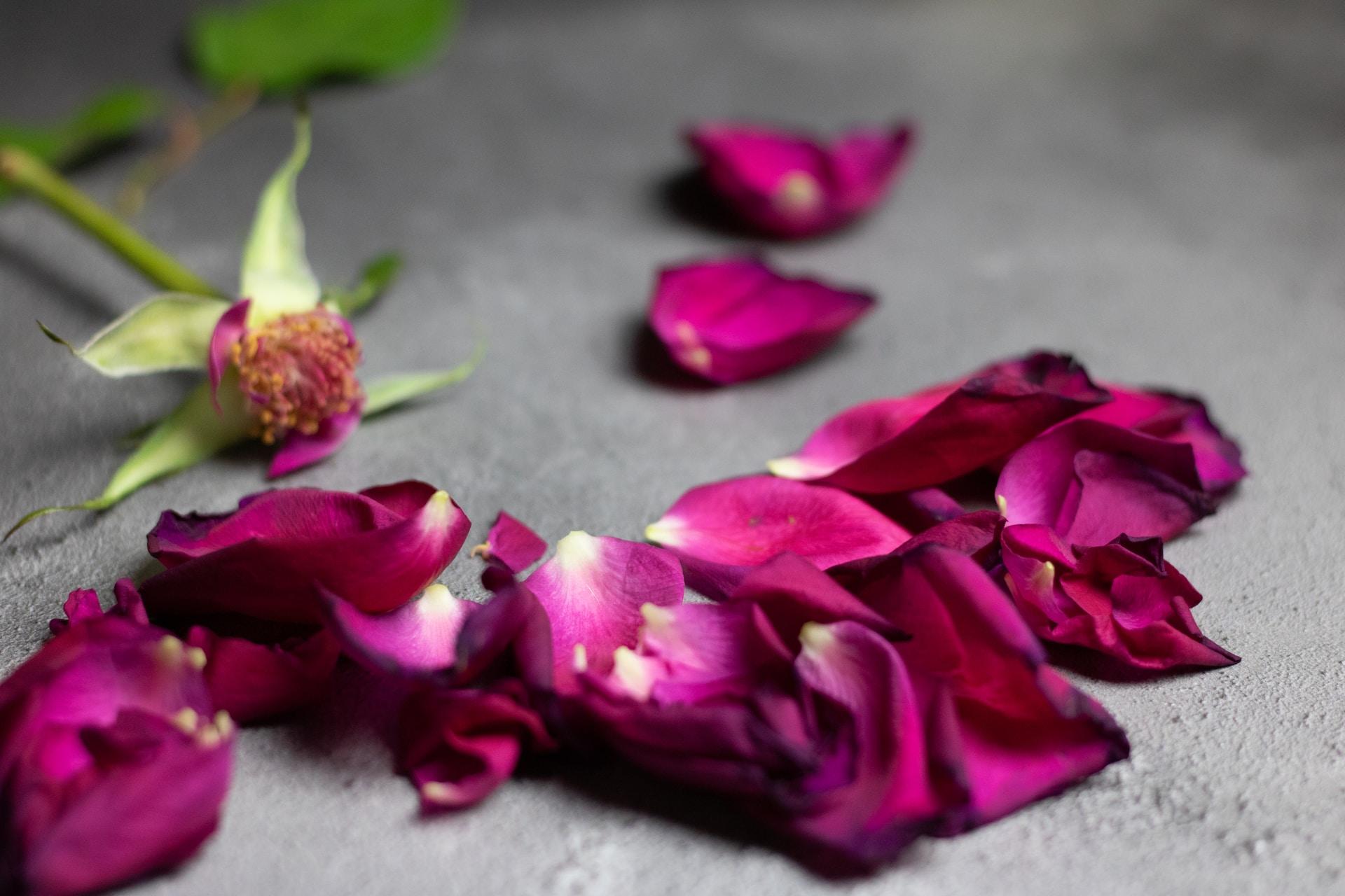 purple rose petals