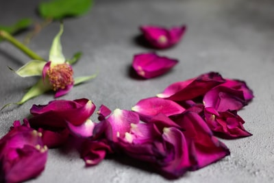 purple rose petals petal zoom background