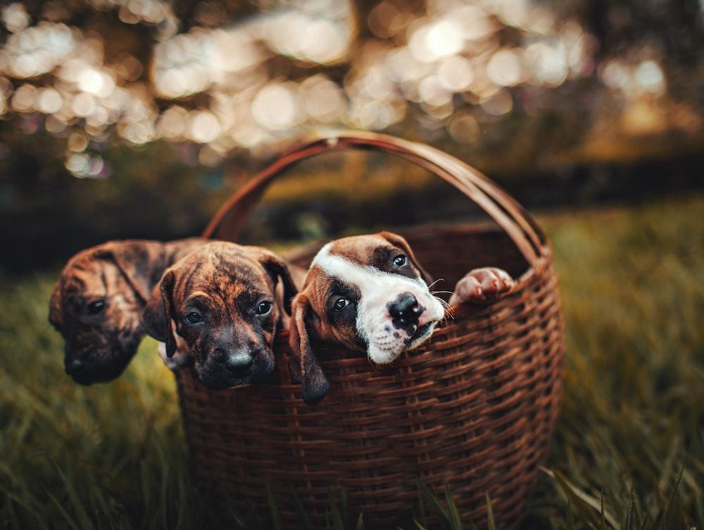 three puppies inside brown wicker basket