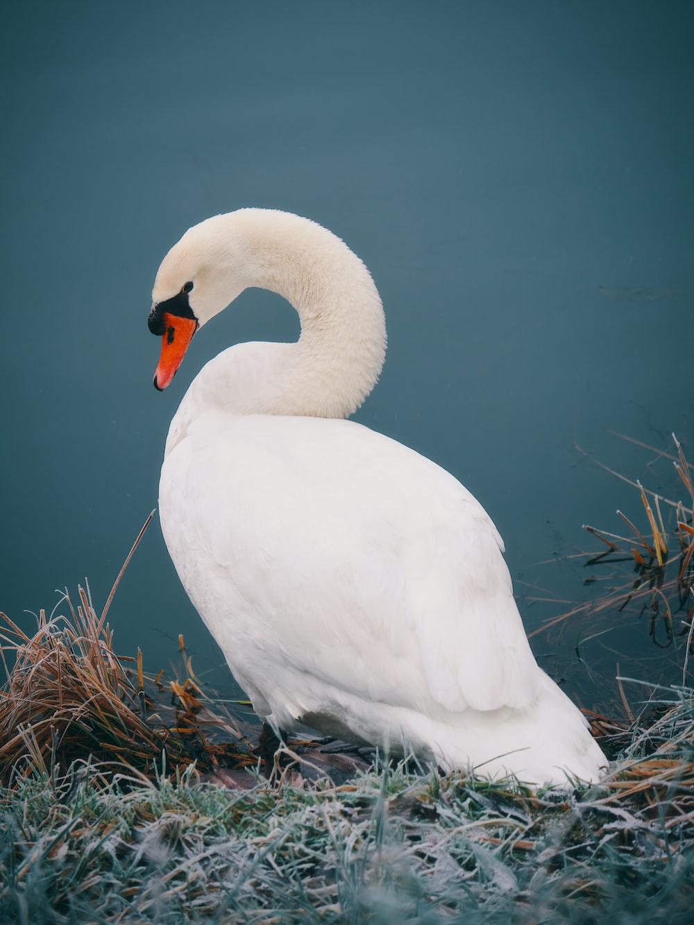 mute swan near body of water