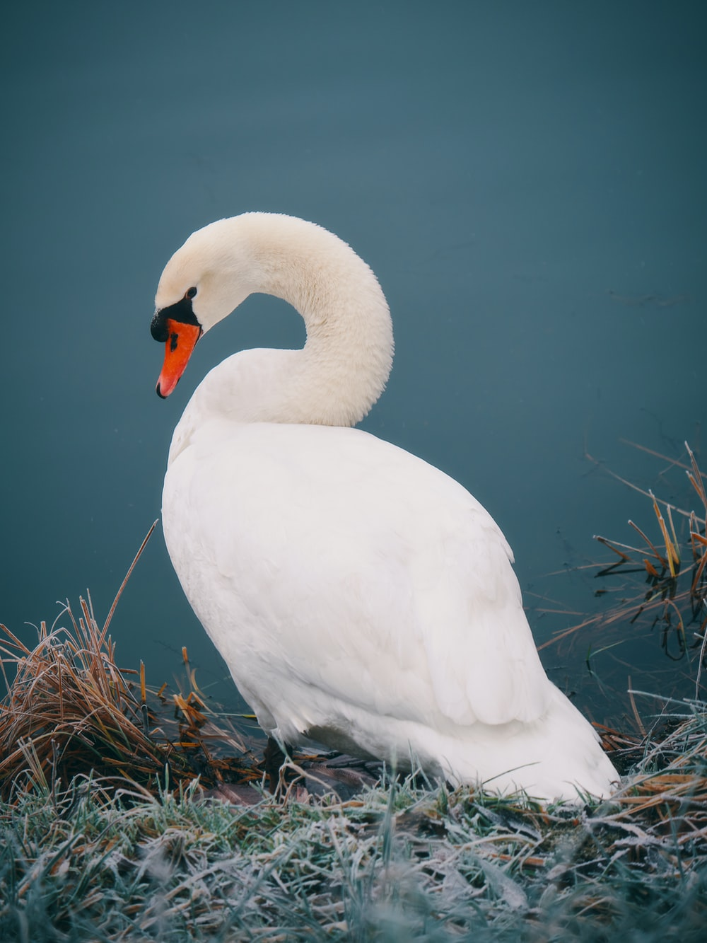 mute swan near body of water