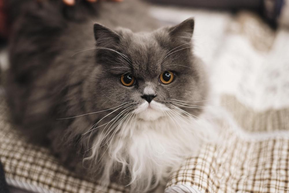gray and white British shorthair