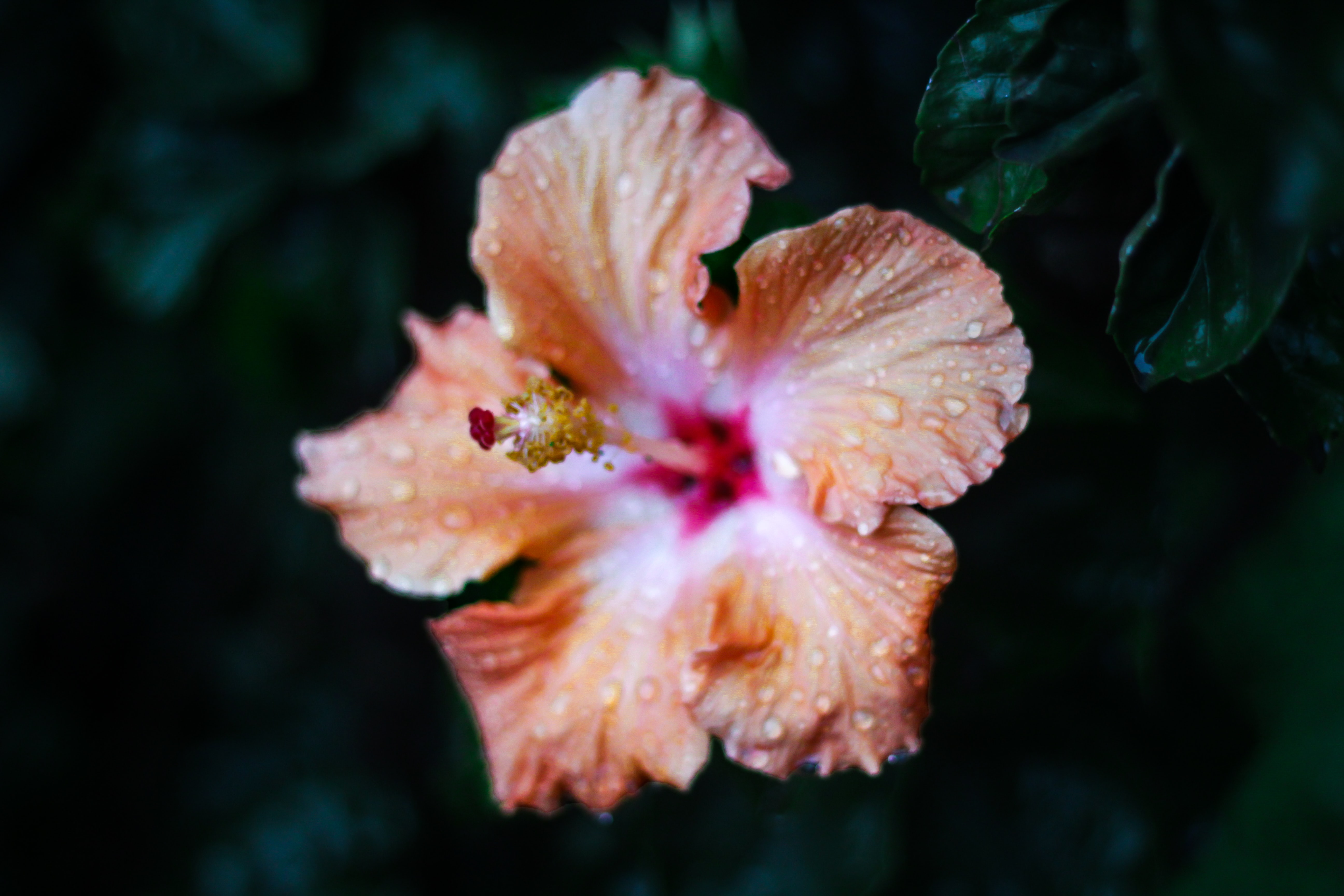 close up photography of pink hibiscus flower with water drops