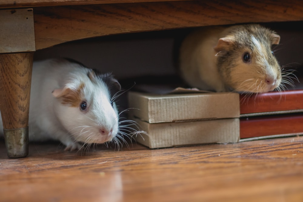 white and brown guinea pigs