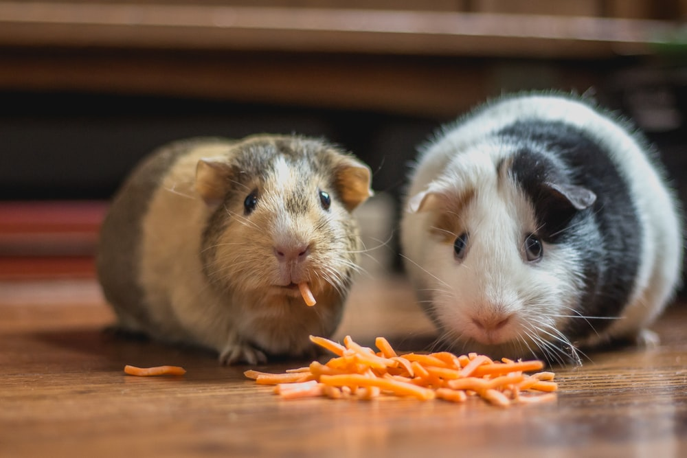 two guinea pigs eating cheese