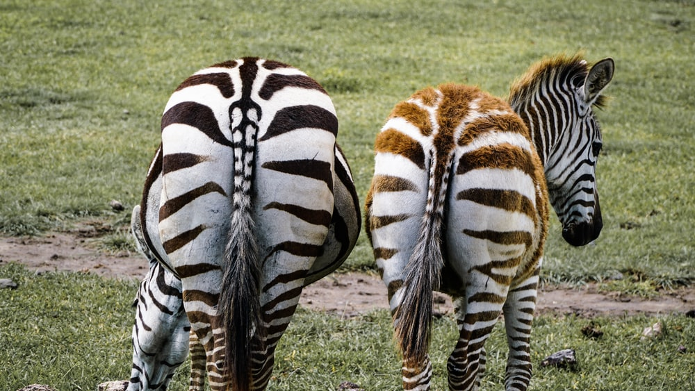 two zebra on grass field during daytime