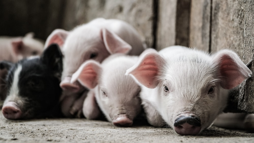 brown and black piglets lying on floor