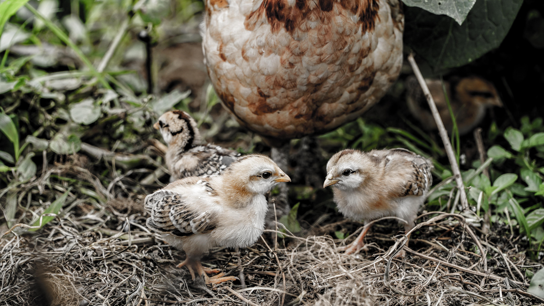 hen with chicks on ground