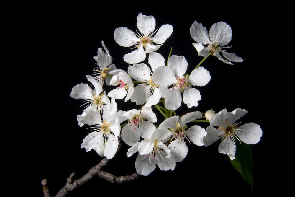 blooming white cherry blossom flowersa