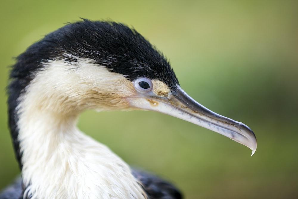 black and white long-beaked bird
